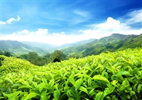Thủ tục nhập khẩu mặt hàng trà